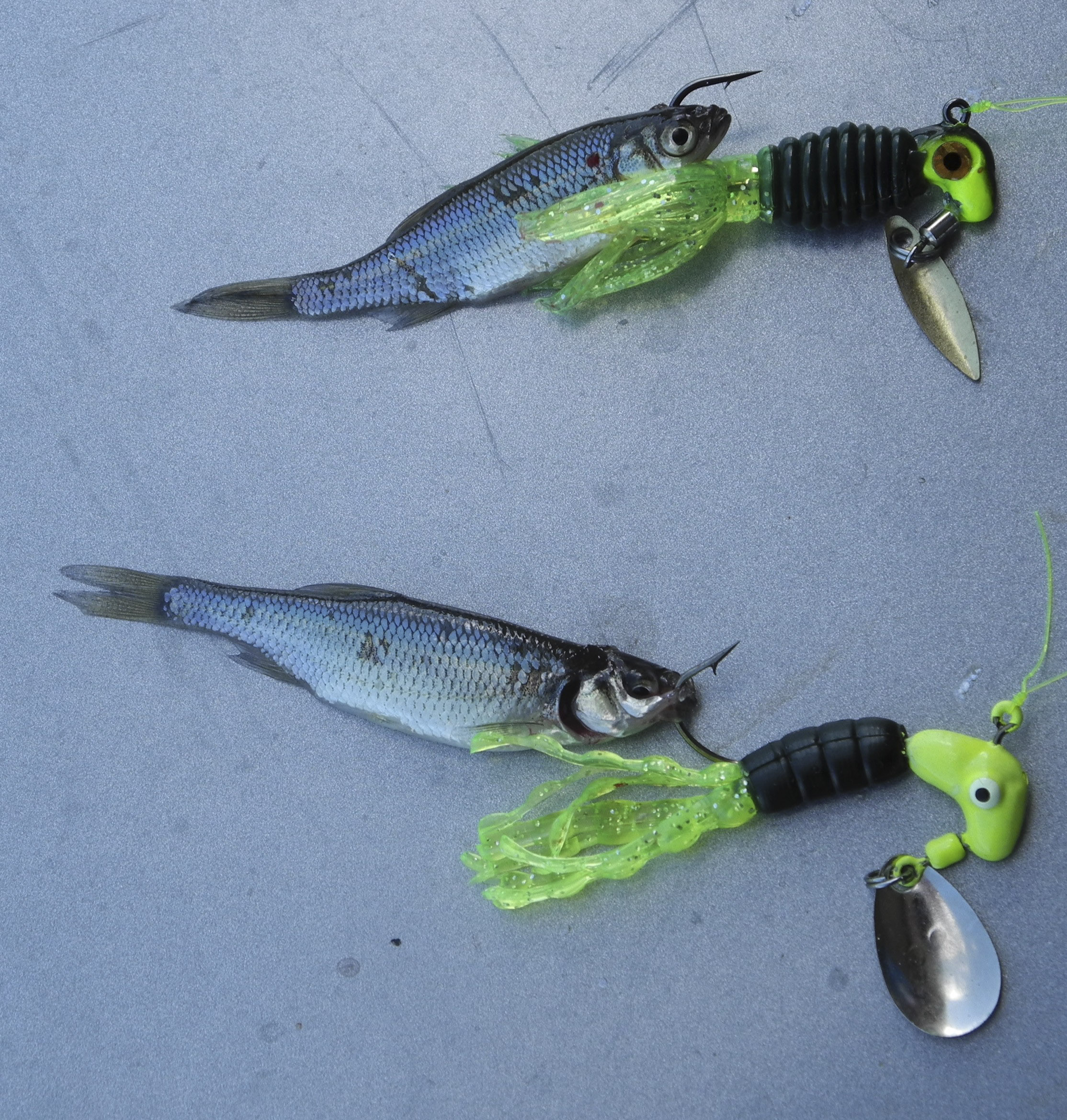 Blue Crappie for Pinterest
